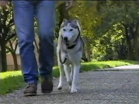 Dressage chien marche au pied