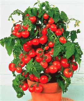 Comment planter des pieds de tomate apprendre facile - Comment planter des tomates ...